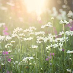 Daisy Meadow Flower Photography dreamy decor print, $30.00
