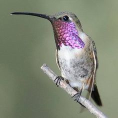 hummingbirds rare - Google Search
