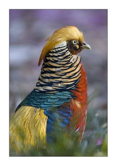 ornamental pheasant