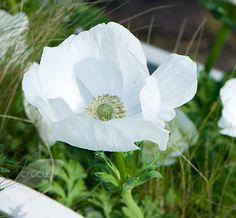 Buy anemone bulbs ( syn The Bride ) Anemone coronaria '(De Caen Group) Die Braut': Delivery by Crocus