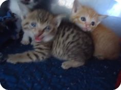 Domestic Shorthair **Kitten** for adoption in Rockport, Texas - 041490-Act quickly to adopt 041490. Pets at this shelter may be held for only a short time.