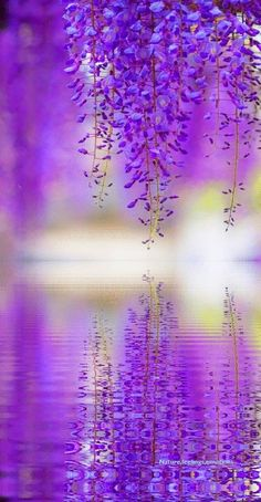 my other favorite - wisteria