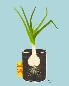 Growing Garlic at Home: 5 Simple Methods http://www.garlicshaker.com/blog/growing-garlic-at-home-5-simple-methods/