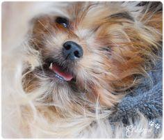 Yorkie / Pet / Dog   https://www.facebook.com/glasgow.woof