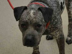 TO BE DESTROYED 02/06/15 Manhattan Center   My name is SMOKEY. My Animal ID # is A1026995. I am a male black and white american staff mix. The shelter thinks I am about 3 YEARS old.  I came in the shelter as a OWNER SUR on 02/02/2015 from NY 10453, owner surrender reason stated was COST.