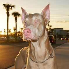 The Doberman Pinscher is among the most popular breed of dogs in the world. Known for its intelligence and loyalty, the Pinscher is both a police- favorite Doberman Pinscher Blue, Doberman Dogs, Dobermans, Cute Dogs And Puppies, Big Dogs, Corgi Puppies, Doggies, Cute Baby Animals, Animals And Pets