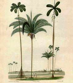 Olímpia Reis Resque: Viajantes: Paxiúba, uma das palmeiras mais bonitas…