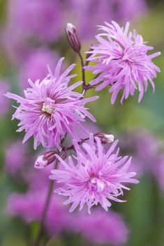 Lychnis flos-cuculi 'Petite Jenny' is a new dwarf form of an easy-to-grow wildflower commonly called ragged robin. Plant Name: Lychnis flos-cuculi 'Petite Jenny' Growing Conditions: full sun Size: tall x wide Zone: Grow it with: irises & creeping phlox Best Perennials, Flowers Perennials, Planting Flowers, Shade Perennials, Shade Plants, Orange Flowers, Cut Flowers, Beautiful Flowers, Colorful Flowers