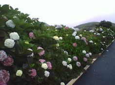 Hydrangeas literally grow wild in the Azores. No wonder my Grandmother loved them and so do I!