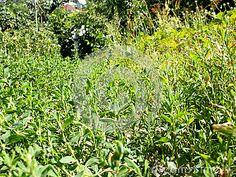 How Polygonum aviculare grows in Moldova