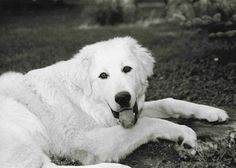 The Akbash Dog is native to western Turkey in the region known as the Akbaş, and it is primarily used as a livestock guardian dog.