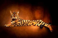 / Bengal Cat by Johnny Krüger Nature Animals, Animals And Pets, Cute Animals, Serval, Toyger Cat, Sphynx Cat, Beautiful Cats, Animals Beautiful, Beautiful Creatures