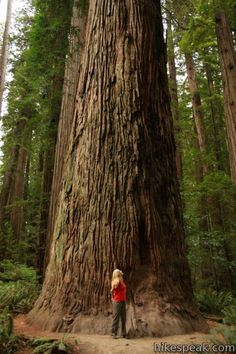 Measure up to a Giant Redwood tree at Big Basin Redwoods State Park, California