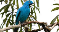 Plum-Throated Cotinga - Cotinga mayana - This tropical bird of the family Cotingidae is found in Bolivia, Brazil, Colombia, Ecuador and Peru. Its natural habitats are tropical or subtropical moist lowland forests, tropical or subtropical swamps and heavily degraded former forests - Image : © Eduardo Carrión Letort 2008
