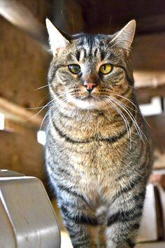 barn cat at barnsley gardens