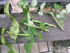 Различные методы размножения роз Plants, Plant, Planets