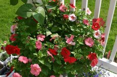 Tips for petunias? - Growing from Seed Forum - GardenWeb