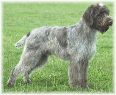 wirehaired pointing griffon  My O is a wpg/black lab mix from the shelter