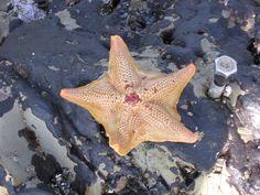 Los Osos, CA - Montana De Oro State Park, tide pooling, starfish 2005