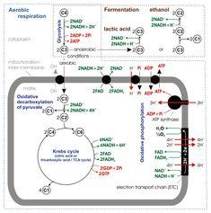 cellular respiration diagram