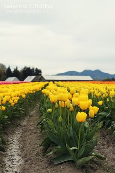 """The tulip fields of La Connor, WA. Grow them here - ship the bulbs to Holland - repackage them and ship them back as """"Tulips from Holland."""""""