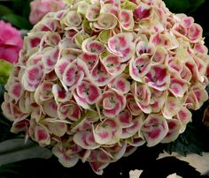 I love, love..love hydrangeas. This is Cityline Mars...looking forward to seeing this in the garden. It will grow 1-3' and spread 1-3'.