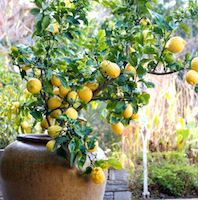 Lemon tree for Container Gardening Blog Carnival