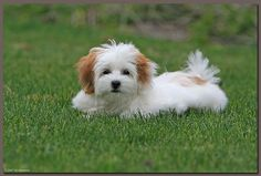 Brown Coton De Tulear Brown coton de tulear tags