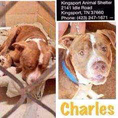 Kingsport #Tennessee #adoptabledog  #pitbulllove #PitbullTODAY   CHARLIE #pitbull BR/W 3YR M http://ln.is/sbkanimalcenter.org/yIkvy… pic.twitter.com/lzaQAVSiYA