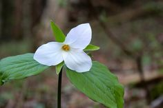 single white lily growing in forest - Google Search
