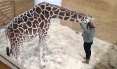 Raw video: April the giraffe awaits arrival of new calf at Animal Adventure Park in Harpursville, New York
