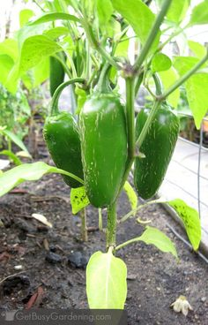 Jalapenos are one of the best pepper plants to grow