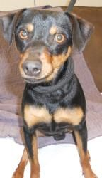 Jeffery is an adoptable Miniature Pinscher Dog in Barron, WI. Jeffery is a cute little guy who is looking to find his new home! He is very friendly and hardly barks while kenneled! Jeffery would love ...