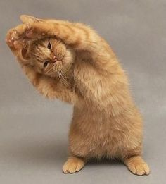 liittlebiird:  It's a cat. Doing yoga. Do I need anymore reason to post this? I think not.  Follow me for more fitness  health motivations. Healthy lifestyle blog!