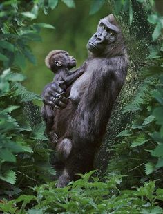 Gorilla with her baby  in the tropical jungle of Mondika, Congo