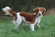 The Kooikerhondje was bred in the 18th-century Netherlands for flushing and retrieving game birds.  It attracts curious birds by bouncing about and waving its bushy tails.  The breed practically disappeared in World War I but was bred back into existence by Baroness Hardenbroek van Ammerstool, only to be very nearly decimated again by World War II.  Due to the small genetic pool, some have inherited defects but most are good-tempered even with children & suited to urban living.