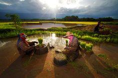 rice harvest ... Thai farmers ii by jeerasak Chaisongmuang, via 500px