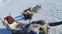 Picture of the pure bred Greenlandic Sled dogs with a sled on the frozen grounds of Ilulissat, Greenland