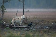 The wolf & the Raven by Tony Andersson