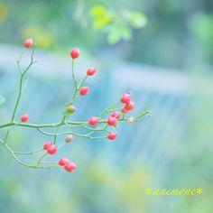 #薔薇#バラ#rose#ローズヒップ#rose hip