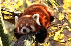 Now this is a tree hugger! Now this is a tree hugger! Now this is a tree hugger! Cute Baby Animals, Animals And Pets, Funny Animals, Animals Planet, Red Panda Cute, Animal Pictures, Cute Pictures, Panda Mignon, Niedlicher Panda