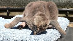 Hunstanton Sea Life Sanctuary's first Humboldt penguin chick in decade - BBC News http://www.bbc.co.uk/news/av/uk-england-norfolk-39979735/hunstanton-sea-life-sanctuarys-first-humboldt-penguin-chick-in-decade?utm_campaign=crowdfire&utm_content=crowdfire&utm_medium=social&utm_source=pinterest