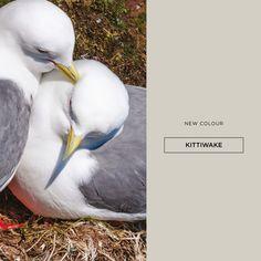 Irish headlands are speckled with white flecks of the Kittiwake #colour