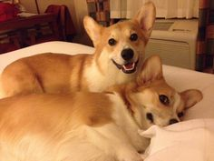 Gingko and Makai  corgis of Elisha A.  The Daily Corgi