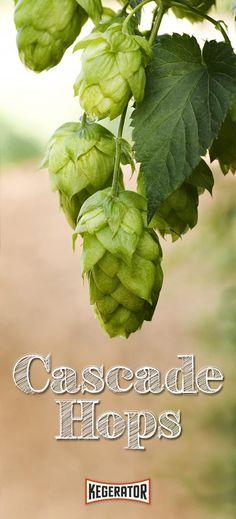Cascade Hops - How to Grow & Brew This Popular Hop