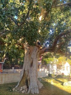 a sycamore tree in Jericho