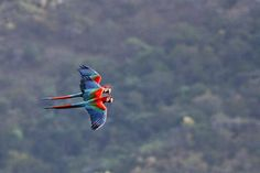 Green-Winged Macaws Flying.