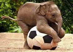 Fancy Footwork by Renee Doyle, dailymail.co.uk: Luk Chai, a baby Asian Elephant at Taronga Zoo, New South Wales, Australia. #Elelphant #Soccer #Australia #Renee_Doyle