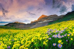 "Timpanogos Wildflowers.  ""For a few days each summer, wildflowers carpet the alpine basins below Timpanogos in Utah's Wasatch Mountains."" by Dan Ransom."