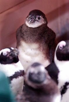 One month old Black-footed Penguin at Erie, PA Zoo; photo by Greg Wohlford